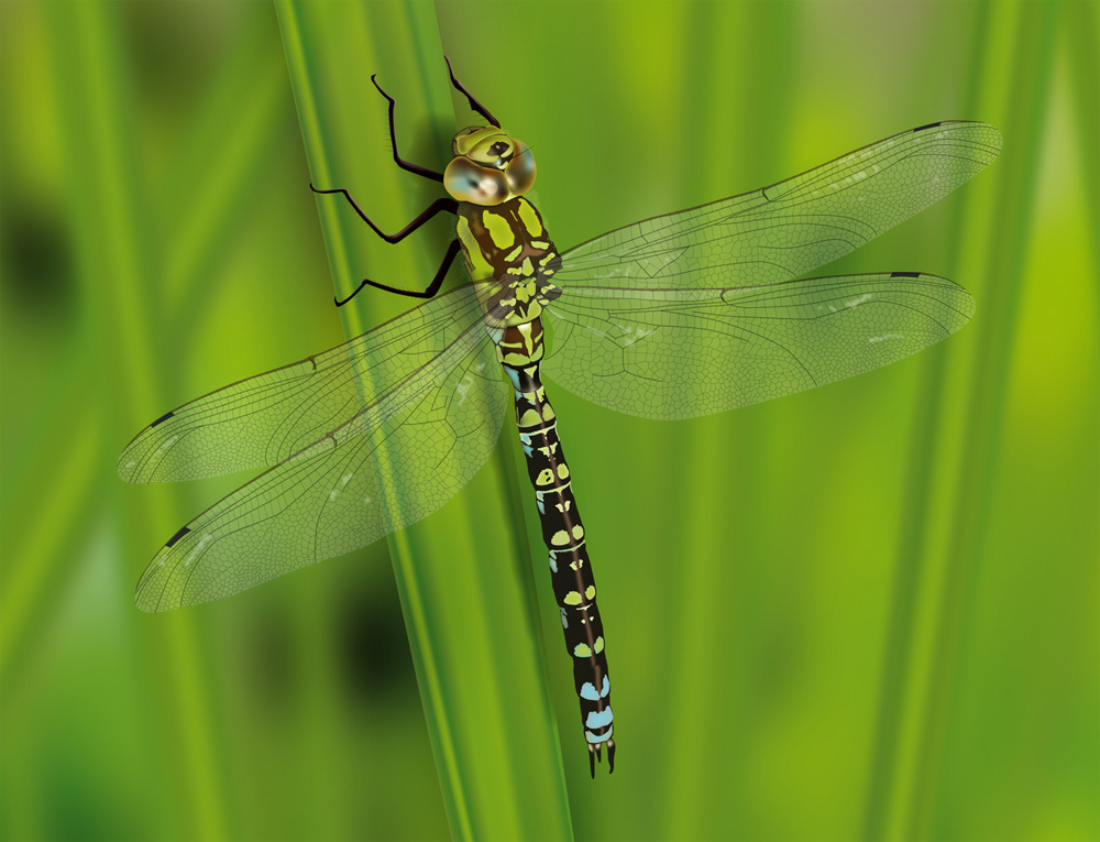 Dragonfly - A vector illustration of a Southern Hawker dragonfly